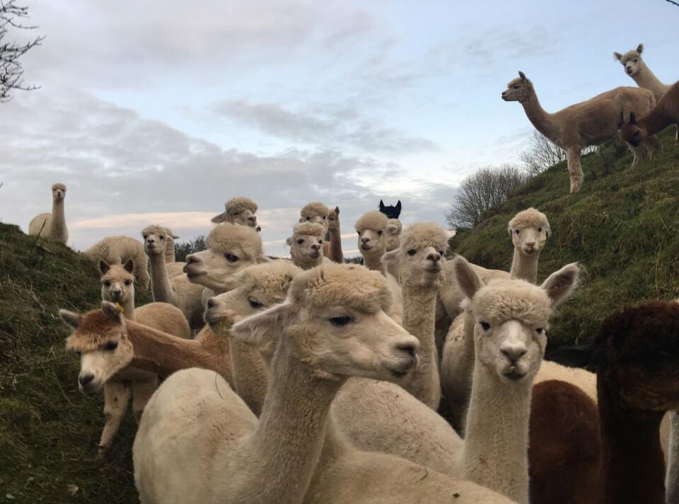 British Alpaca Farm. Photography by Neliana Fuenmayor